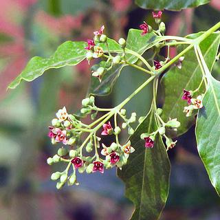 Sandalwood Flower and Berries
